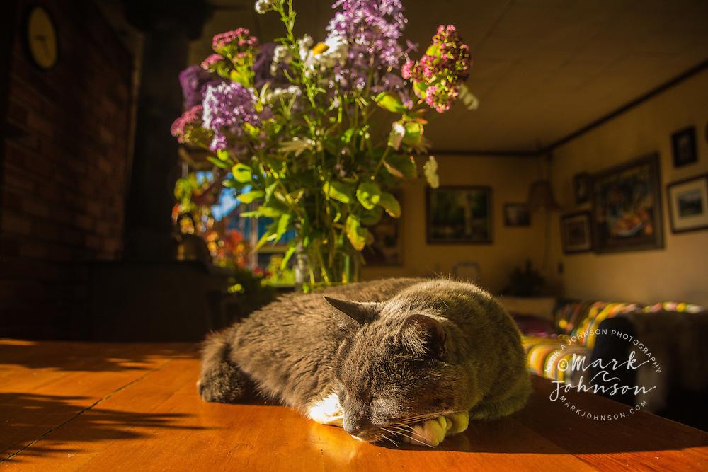 Pet cat on a sunny table, Sitka, Alaska
