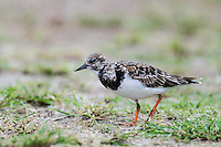 Ruddy Turnstone, D'Arros Island and St Joseph Atoll, Amirantees, Seychelles,