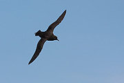 Sooty Shearwater, Stewart Island, New Zealand