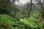 Rainforest, Kilauea Iki, HVNP, Island of Hawaii<br />