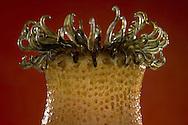 NLD, Niederlande: Buonodes ballii (Anthopleura ballii), Seeanemone, dieses Glasmodell stammt aus dem Werk der naturwissenschaftlichen Glaskünstler Leopold Blaschka (1822-1895) und Sohn Rudolf Blaschka (1857-1939). Zwischen 1863 und 1890 entstanden in der Dresdner Werkstatt Tausende Glasmodelle wirbelloser Meerestiere, die ihren Weg in Museen und Universitäten der ganzen Welt fanden. Diese Nachbildungen verblüffen bis heute, denn sie sind morphologisch fehlerfrei und halten naturwissenschaftlichen Betrachtungen bis ins Detail stand - die perfekte Verschmelzung von Kunst und Naturwissenschaft. Die Blaschkas hatten keine Lehrlinge und es gibt keine weiteren Nachfahren. Vater und Sohn haben das Geheimnis ihrer einzigartigen Technik mit ins Grab genommen, Blaschka-Sammlung, Universitätsmuseum, Utrecht | NLD, Niederlande: Buonodes ballii (Anthopleura ballii), Red speckled anemone, this glass model originated from the work of the scientific glass artists Leopold Blaschka (1822-1895) and his son Rudolf Blaschka (1857-1939). Between 1863 and 1890 thousands of glass models of invertebrates sea animals developed in the workshop in Dresden, which found their way in museums and universities of the whole world. These reproductions amaze until today, because they are morphologically exact and withstand scientific examinations in detail - the perfect fusion of art and natural science. The Blaschkas didn?t have apprentices and it gives no further descendants. Father and son took the secret of their inimitable technology also in the grave, Blaschka-Collection, University Museum, Utrecht |