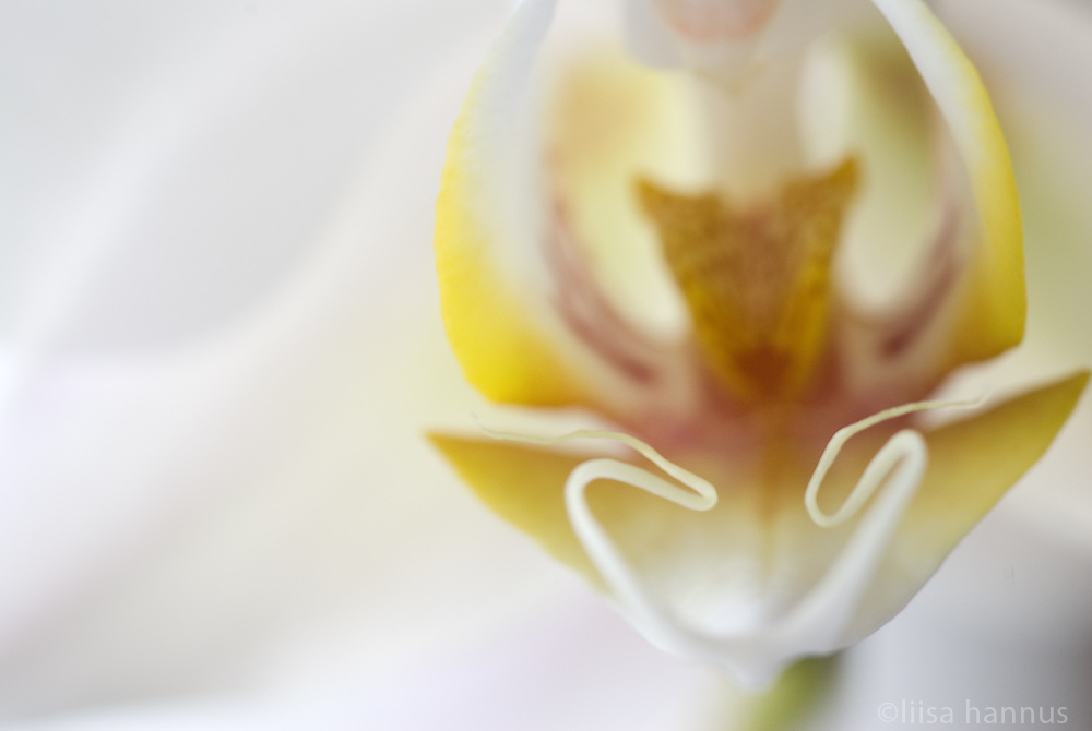 The yellow and pick inner pasrt of a white-petalled orchid