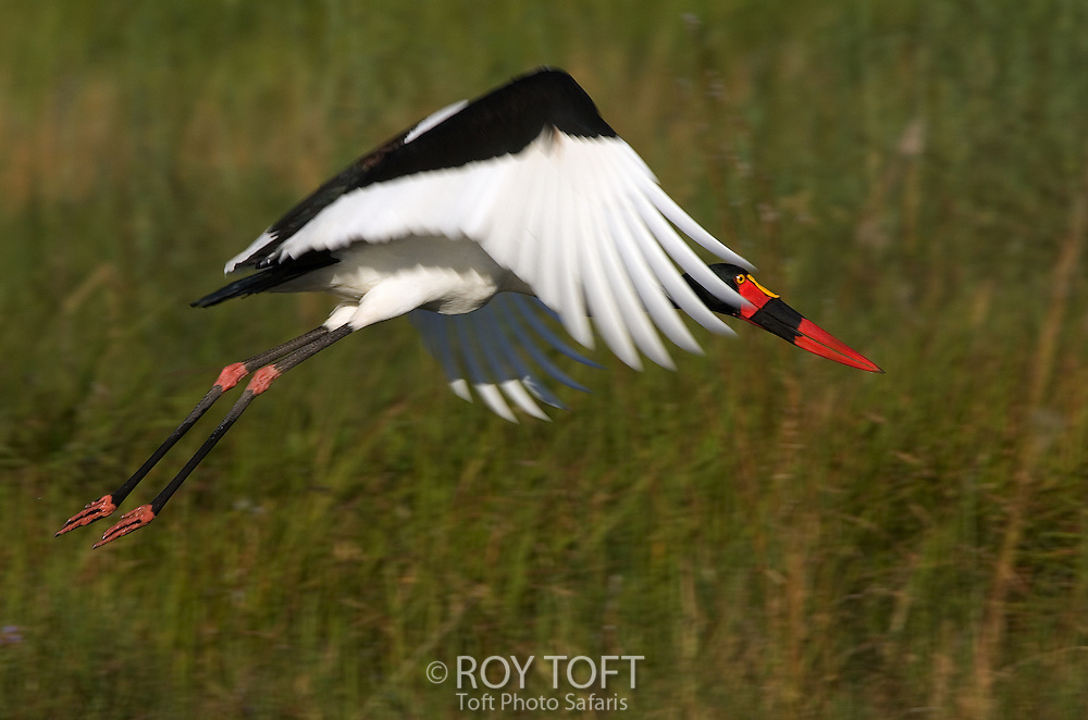 Saddle-billed stork in flight low over the ground, Botswana.