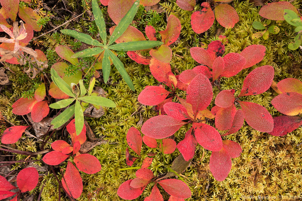 Fall colors of bearberry on forest floor, Denali National Park, Alaska