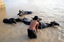 August 4, 2017 - Hyderabad, Sindh, Pakistan - A child is busy in giving bath to there animals buffaloes at Hala Naka river they used to come daily here in Hyderabad (Credit Image: © Janali Laghari/Pacific Press via ZUMA Wire)