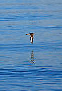 Shorebird caught at the maximum point of its downstroke while flying low above the water