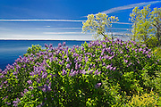 Lilacs along the St. Lawrence River<br /> Thousand Islands<br /> Ontario<br /> Canada