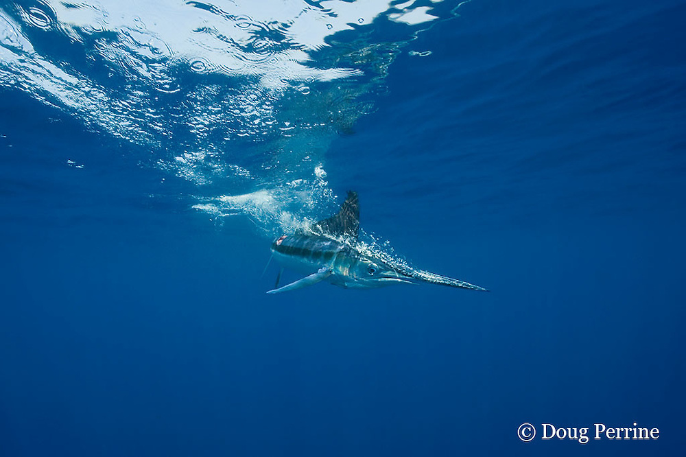 white marlin, Tetrapturus albidus, with bite wound on flank, streaming bubbles after striking at surface, off Yucatan Peninsula, Mexico ( Caribbean Sea )