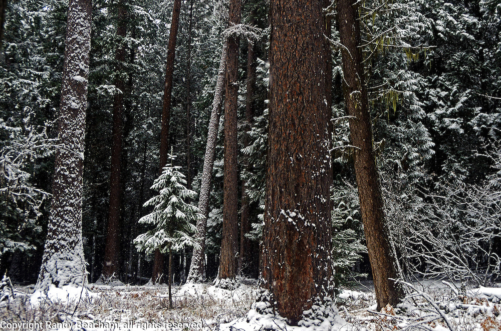 Old-growth forest after a snowfall in December. Yaak Valley Montana