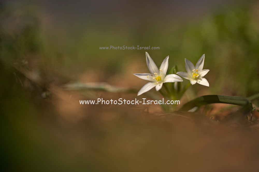 Flowers and foliage of Star of Bethlehem (Ornithogalum montanum). Photographed in Israel in January