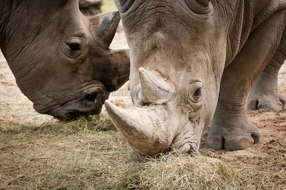 The square lips of the White Rhinoceros allow it to graze more effectively.