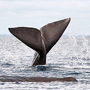 This is an adult female sperm whale (Physeter macrocephalus) slapping the surface of the ocean with her fluke. She reacted immediately when a person entered the water and tried to approach her and other members of her social unit. The whales were resting, and it was clear that they did not wish to be disturbed. Worse still, other people subsequently entered the water as well. Ecotourism has been a catchall term that connotes a positive activity, but interactions with wild animals like this need to be regulated with proper enforcement by knowledgeable people. Otherwise ecotourism can be a damaging activity, sacrificing the welfare of wildlife for the sake of profit.