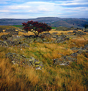 Rowan tree growing on limestone upland, Yorkshire Dales national park, Yorkshire, England