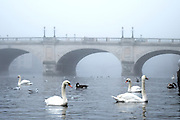© Licensed to London News Pictures. 01/11/2015. Kingston, UK. Swans on the River Thames in front of a foggy Kingston Bridge.  Fog along the River Thames in Kingston today, 1st November 2015. Much of the South East of Britain woke to fog this morning. Photo credit : Stephen Simpson/LNP