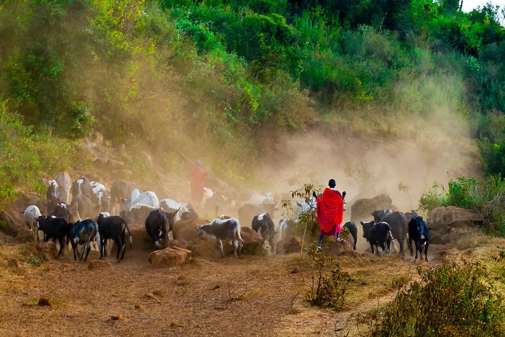 Maasai men herding cattle, Ngorongoro Crater, Ngorongoro Conservation Area, Tanzania