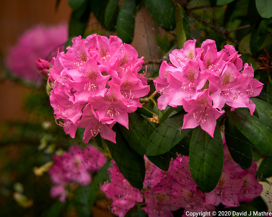 Rhododendron. Image taken with a Nikon D810a camera and 105 mm f/1.4 lens.