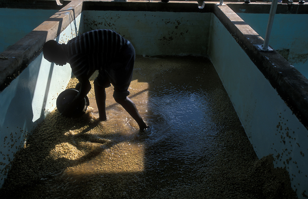 Africa, Kenya, Ruira, Workman sorting through pool of soaking Arabica coffee beans at Oakland Estates coffee plantation