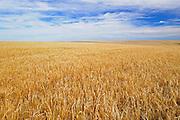 2 Row barley field<br /> near Piapot<br /> Saskatchewan<br /> Canada