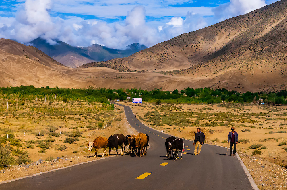 Herding cattle, Chatang, Shannan Prefecture, Tibet (Xizang), China.