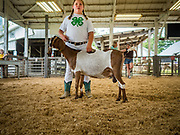 27 JUNE 2019 - CENTRAL CITY, IOWA: A participant in the Dairy Goat judging at the Linn County Fair. Summer is county fair season in Iowa. Most of Iowa's 99 counties host their county fairs before the Iowa State Fair, August 8-18 this year. The Linn County Fair runs June 26 - 30. The first county fair in Linn County was in 1855. The fair provides opportunities for 4-H members, FFA members and the youth of Linn County to showcase their accomplishments and talents and provide activities, entertainment and learning opportunities to the diverse citizens of Linn County and guests.      PHOTO BY JACK KURTZ