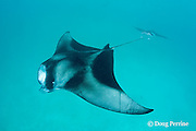 manta rays, Manta alfredi feeding; ray in front has scars on left pectoral fin from apparent entanglement in fishing net or fishing line; Hanifaru Bay, Baa Atoll, Maldives ( Indian Ocean )