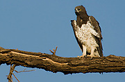 Martial Eagle (Polemaetus bellicosus) from Samburu NP, Kenya.