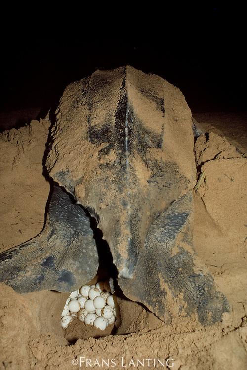 Leatherback sea turtle laying eggs, Dermochelys coriacea, Surinam