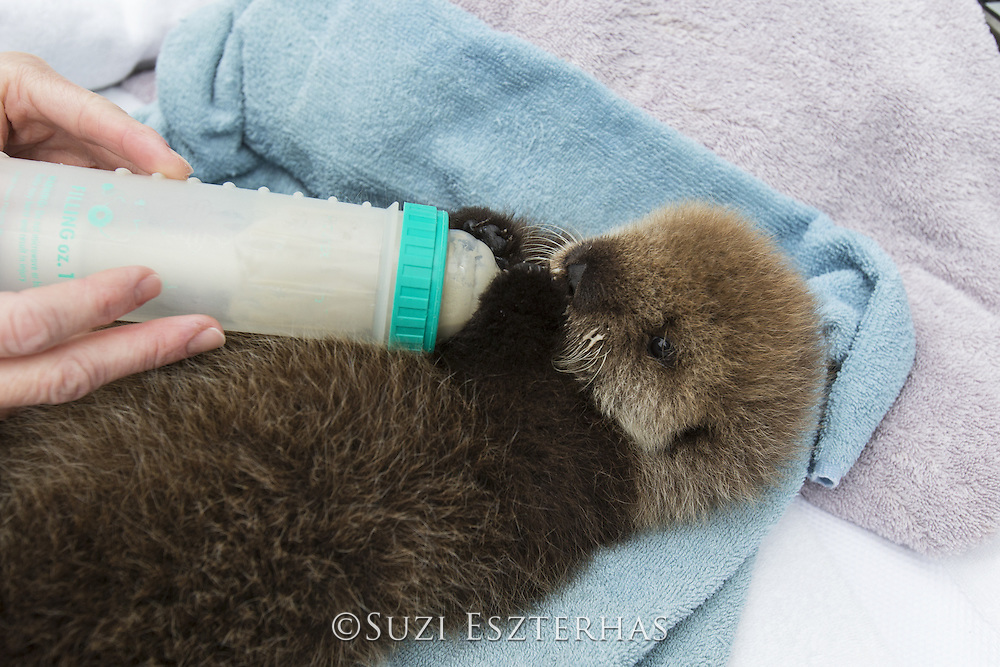 Sea Otter <br /> Enhydra lutris<br /> Three-week-old orphaned pup bottle-feeding<br /> Alaska Sea Life Center, Seward, Alaska