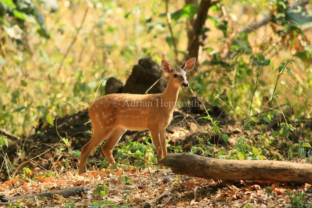 White-tailed deer fawn (Odocoileus virginianus). Tropical dry forest, Palo Verde National Park, Guanacaste, Costa Rica.