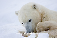 01874-11505 Polar Bear (Ursus maritimus) resting Churchill Wildlife Management Area MB