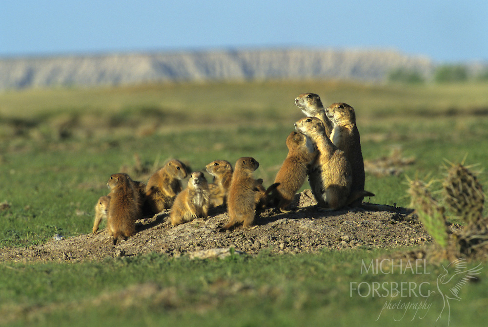 Conata Basin, Buffalo Gap National Grassland, South Dakota..Black-tailed prairie dogs gather outside burrow holding session in late afternoon in early June...Within colonies, prairie dogs live in territorial family groups made up adults and yearlings. Called coteries, these family groups can fluctuate between just a few to nearly 30 individuals...Prairie dogs are keystone species, and are critical to the integrity of the grassland ecosystem....