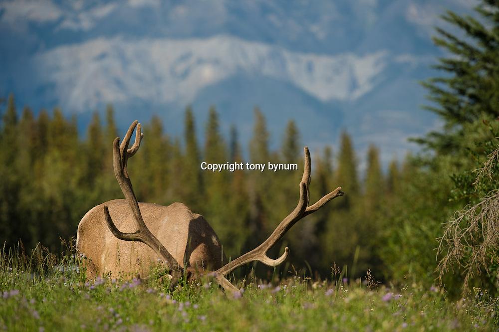 bull elk mature huge velvet bull elk feeding in tall grass