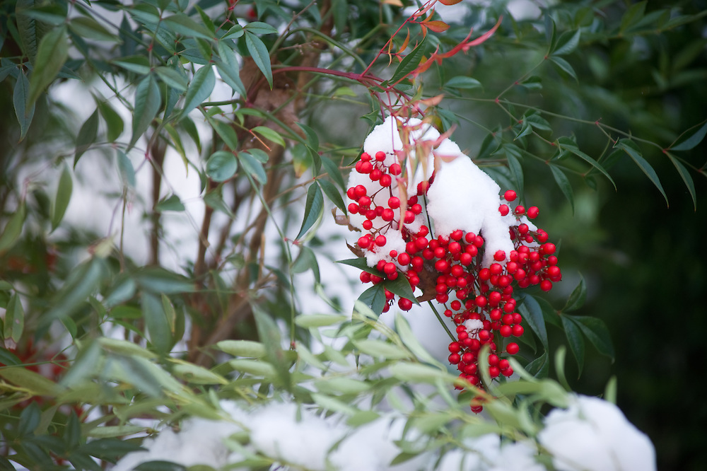 Snow on red berries and greenery