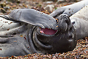 A young southern elephant seal playing with her flippers