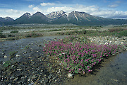 Wildflowers along a creekbed in the Yukon