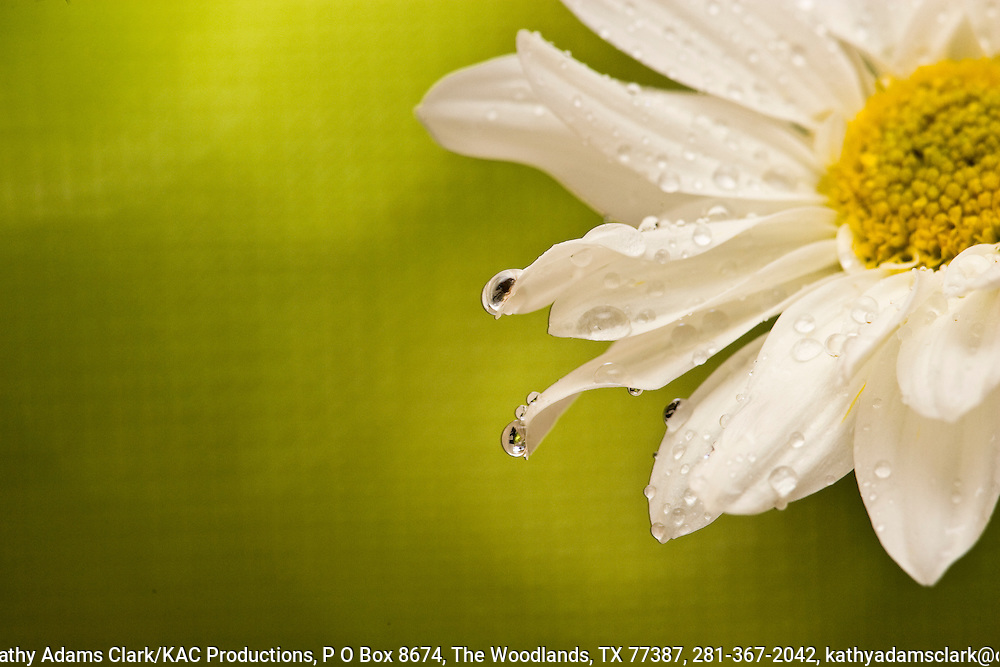 Detail of a daisy bloom with dew drops.