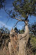 An old tree stands in Gardner Canyon, Santa Rita Mountains, Coronado National Forest, Sonoran Desert, Sonoita, Arizona, USA.