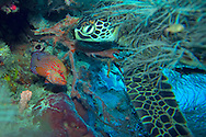 Kapalai, Sabah, Malaysian Borneo, March 2006. A hawksbill turtle takes a nap at the reefs of sipadan.  From the luxorious stilted houses of Kapalai island we take a 20minute boatride to Sipadan Island and its coral reefs. Sipadan with it's rich underwater animal and coral life offers some of the best diving in the world. Photo by Frits Meyst/Adventure4ever.com