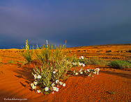 Desert wildflowers Primrose and Yucca in the morning light in Page Arizona