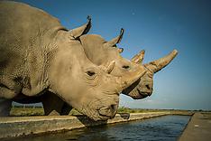 Northern White Rhino Ovum Pickup