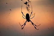 Giant Bananna Spider female and male, silhouetted in a Jekyll Island sunset.