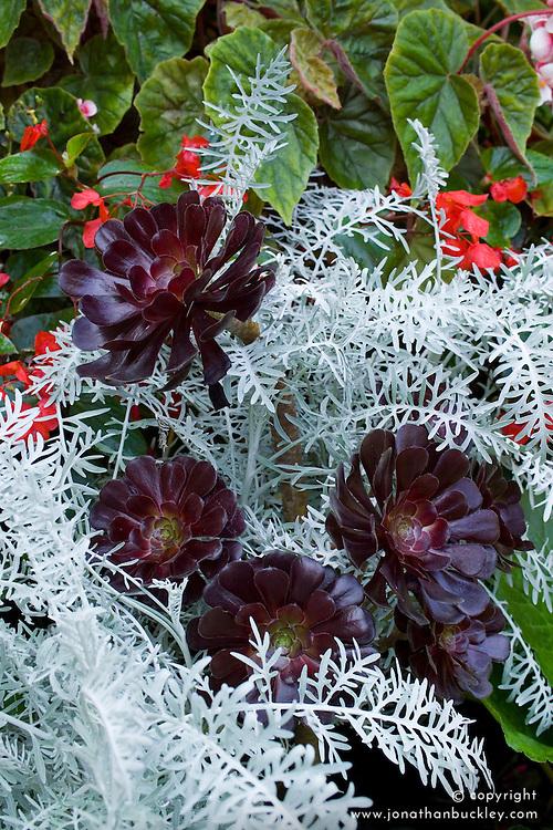 Aeonium 'Zwartkop' syn. 'Schwarzkopf' growing through Centaurea cineraria