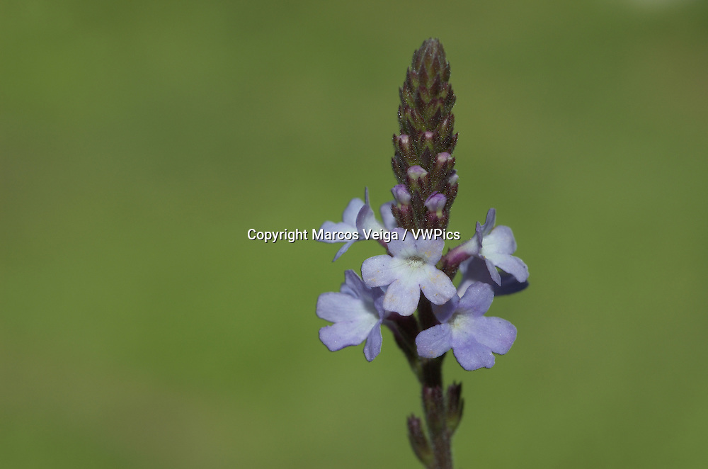 Common Vervain or Common Verbena (Verbena officinalis)