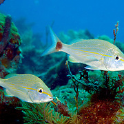 Tomtate inhabit reefs in Tropical West Atlantic; picture taken Anguilla.