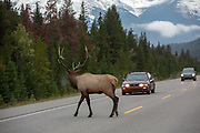 A large bull elk crosses the highway in Banff National Park, Alberta, CA