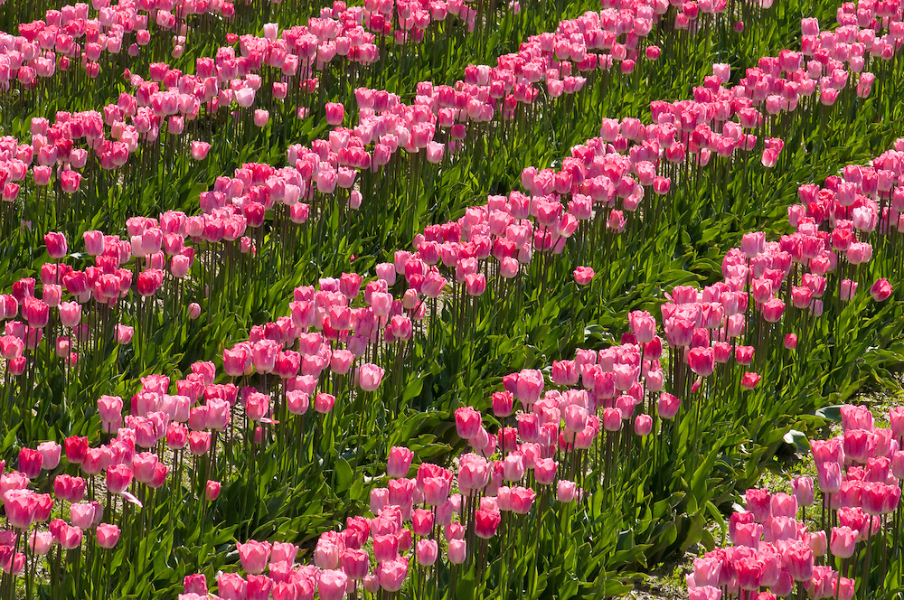 Tulips at Roozengaarde tulip fields, Skagit Valley, Washington.
