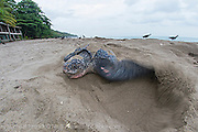 A female Leatherback Sea Turtle, Dermochelys coriacea, nests at sunrise on Grand Riviere, Trinidad, and returns to the Caribbean Sea. During peak nesting season in late May / early June, this beach will receive roughly 300-400 nesting Leatherback every night, making it one of the busiest and most important nesting locations in the world for the critically endangered species.