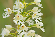 Eastern Prairie Fringed Orchid, Plantanthera leucophaea, Michigan