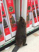 "Beaver Spotted In Supermarket Looking For An Artificial Christmas Tree<br /> <br /> If you think Christmas shopping is just for humans, think again, cause this beaver looking for a perfect Christmas tree at a dollar shop will prove you wrong! On Monday morning, the animal walked right in through the front door of a store in Charlotte Hall, Maryland. He went straight to the Christmas aisle before moving on to the festive decoration section St. Mary's County Sheriff Office said they received a call about the destructive customer and was asked to call animal care. ""Corporal Yingling had an interesting call on Monday when the suspect, pictured below, caused property damage to a dollar store in Charlotte Hall,""<br /> ""The suspect attempted to flee the area but was apprehended by Animal Control… As a law enforcement officer, you just never know what you're next call might be,"" the sheriff's department said. <br /> © St Mary's Sheriff/Exclusivepix Media"