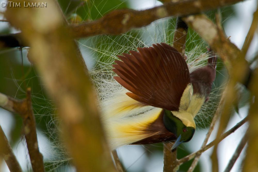 Emperor Bird of Paradise (Paradisaea guillermi) hanging upsidedown in a tree..Huon Peninsula, Papua New Guinea
